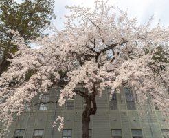あがたの森の桜