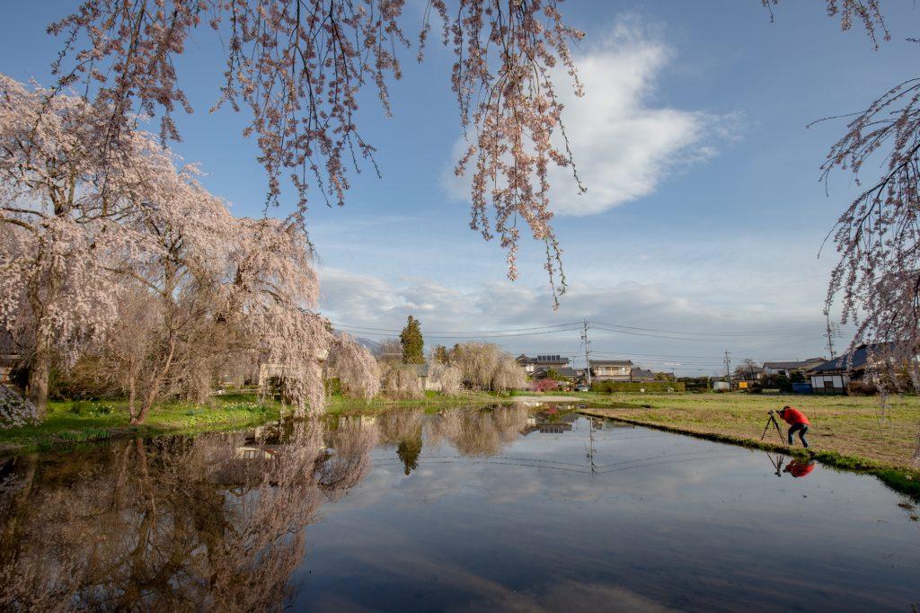 安養寺の桜