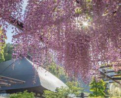 徳運寺の藤の花