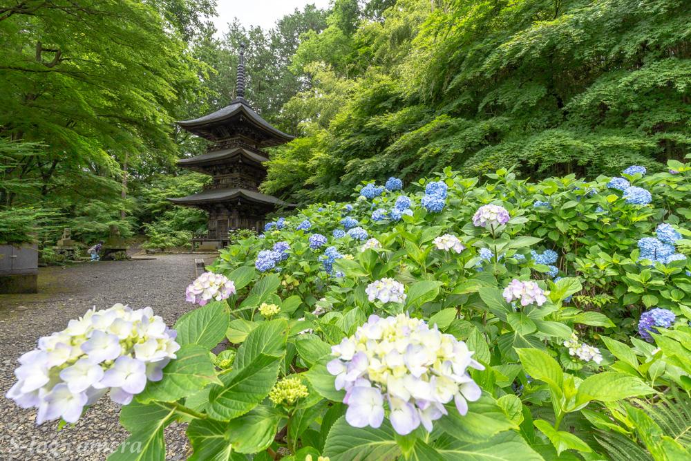 貞祥寺の紫陽花