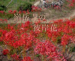 嶺岳寺の彼岸花
