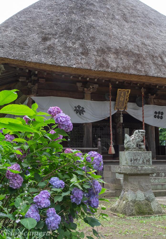 智識寺の紫陽花