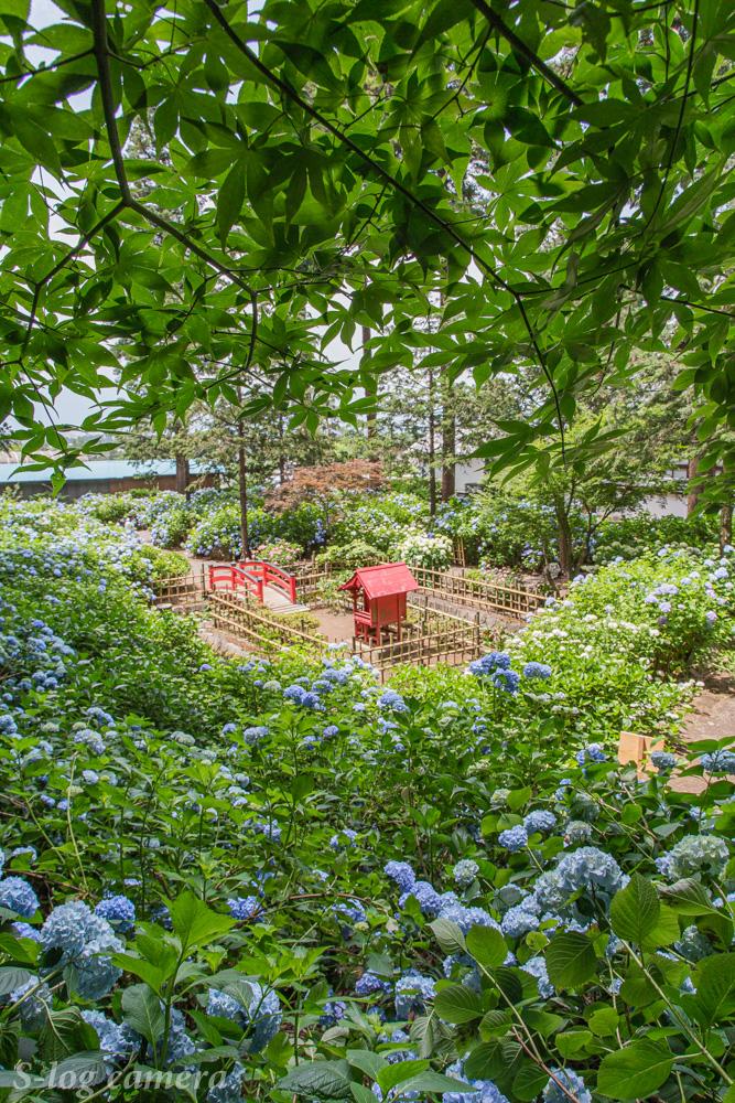 弘長寺の紫陽花