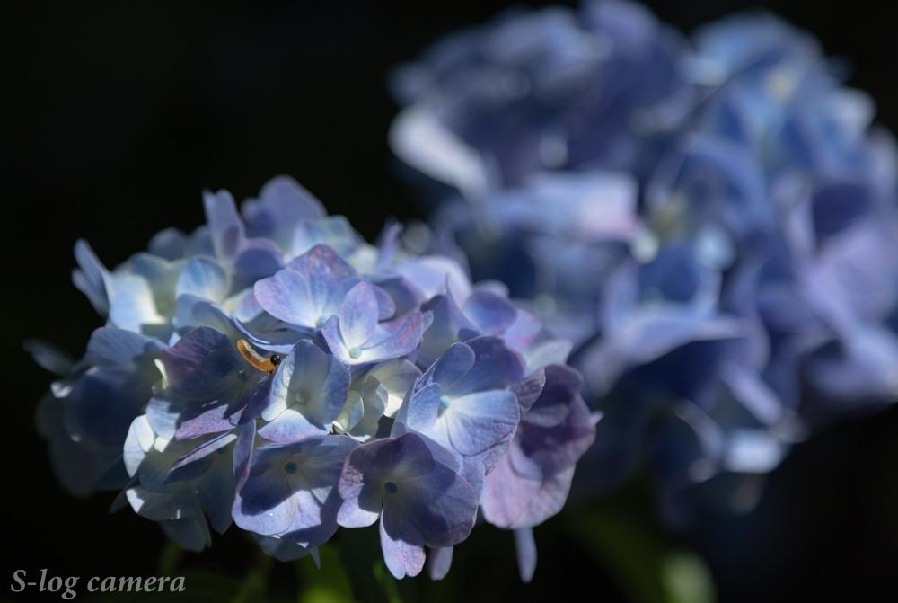 深妙寺の紫陽花