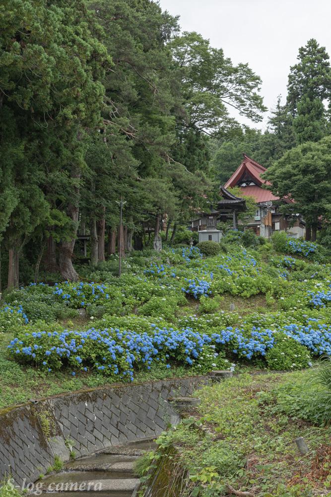 高源院の紫陽花